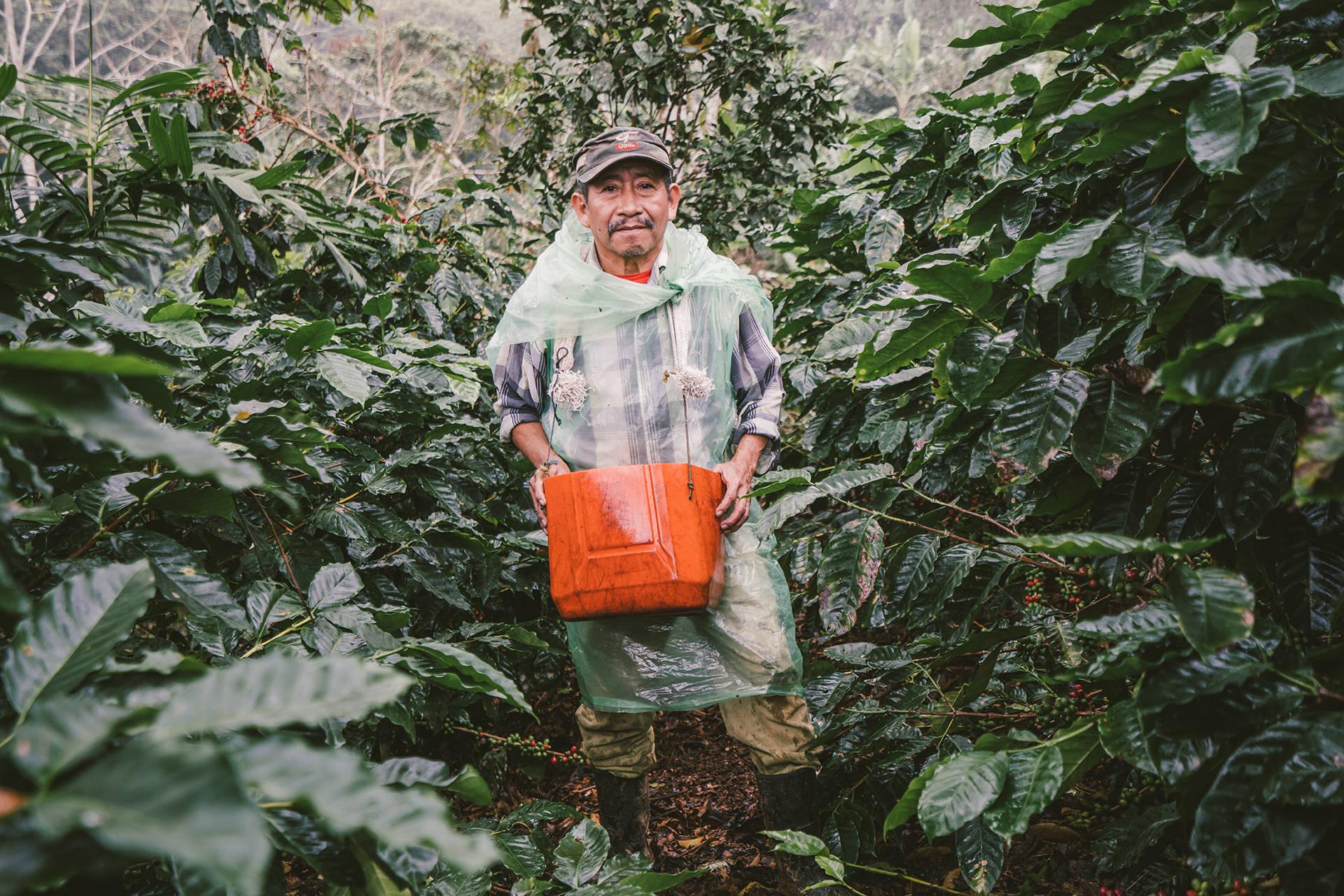 kaffee-bohne-plantage-ernte