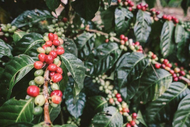 kaffee-bohne-rot-pflanze