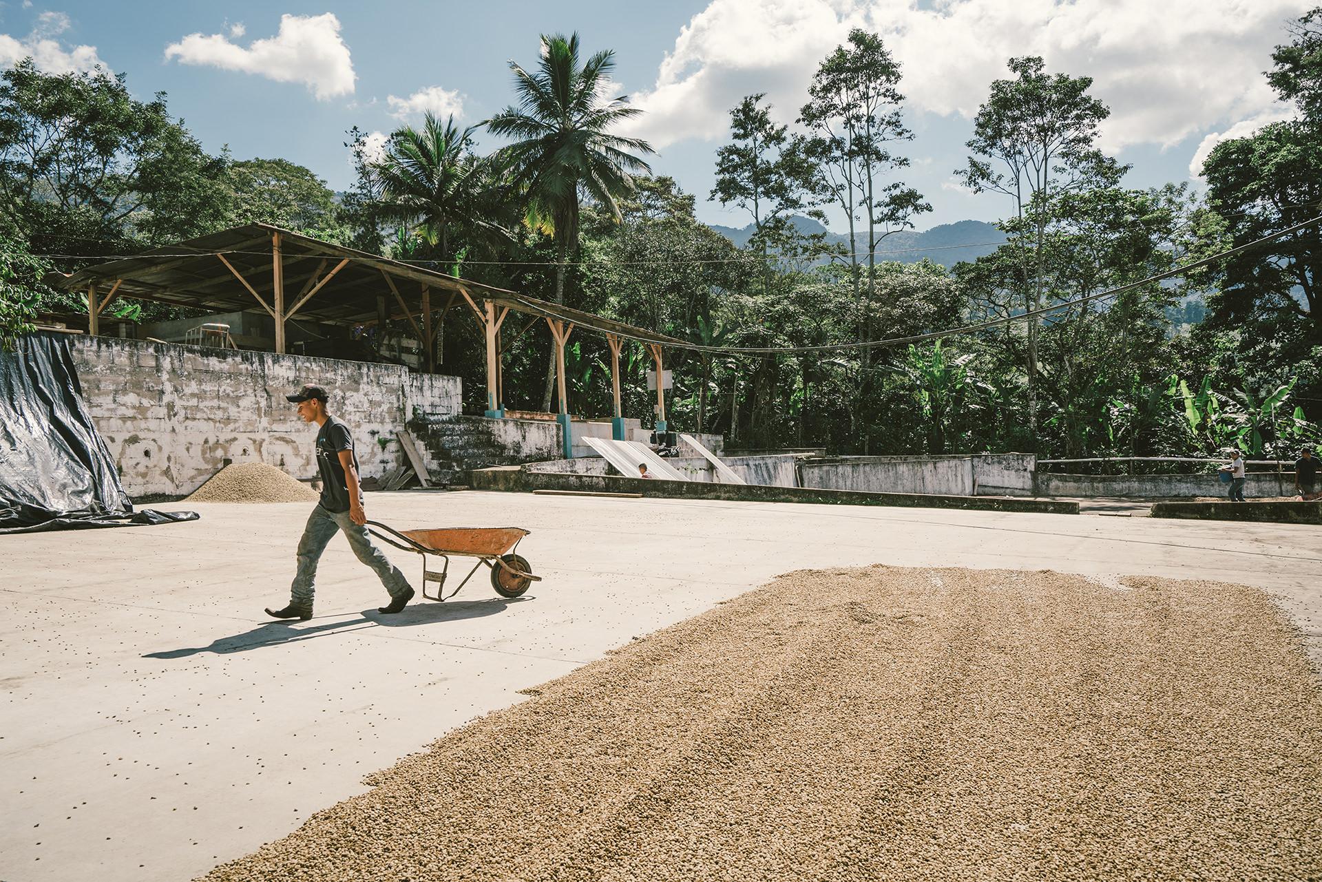 kaffee-trocknen-guatemala-sonne