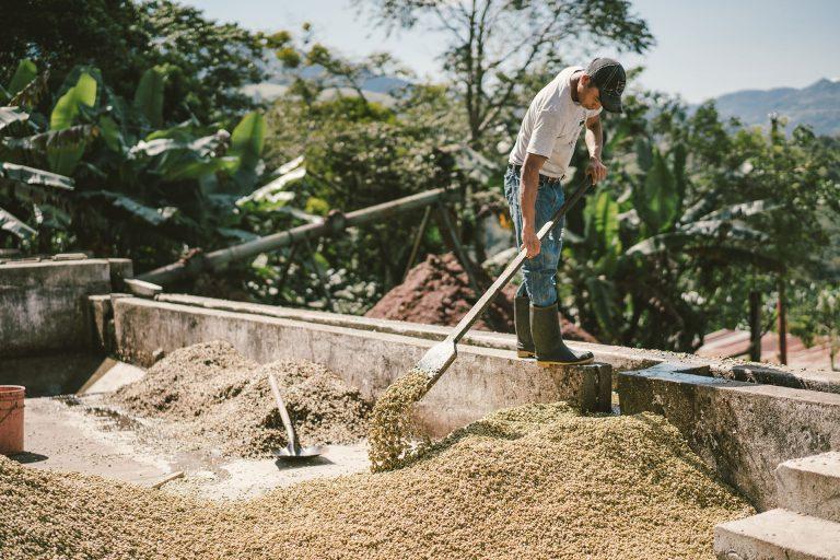 kaffee-trocknen-kaffeebohnen-guatemala