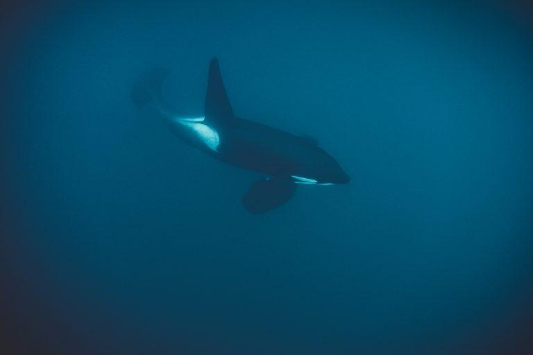 orca-schwimmen-unterwasser-meer