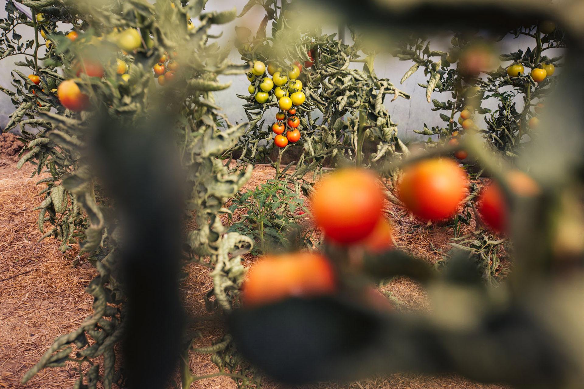 tomaten-feld-naturland-kampagne